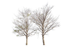isolerad treewhite Royaltyfri Bild
