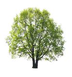 isolerad treewhite Royaltyfria Bilder