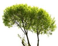 isolerad treewhite för bakgrund green Arkivfoton