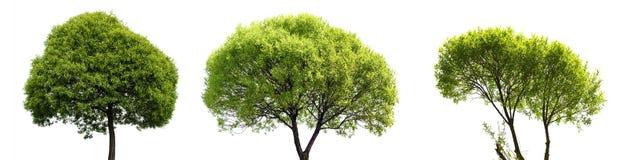 isolerad treewhite för bakgrund green Royaltyfri Fotografi