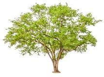 isolerad treewhite för bakgrund green Royaltyfria Bilder