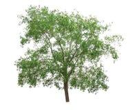isolerad treewhite för bakgrund green Arkivfoto