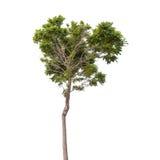 isolerad treewhite för bakgrund green Arkivbilder