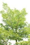 isolerad treewhite för bakgrund green Arkivbild