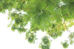 isolerad treewhite för bakgrund green Royaltyfria Foton