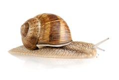 isolerad trevlig snailwhite Fotografering för Bildbyråer