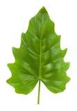 isolerad tropisk leafphilodendron Arkivfoto