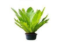 Isolerad tropisk ormbunke för växt i en kruka Arkivbild