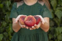 Isolerad ung kvinna som rymmer några röda plana persikor i hennes händer Prunus Persica platycarpa Kinesisk plan persika Variatio royaltyfria bilder