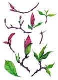 Isolerad uppsättning av magnoliaknoppar royaltyfri illustrationer