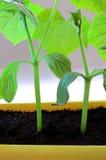 isolerad växt Royaltyfri Bild