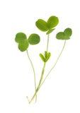 isolerad växt av släkten Trifolium Royaltyfria Bilder