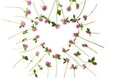 Isolerad växt av släktet Trifoliumhjärta Arkivfoto