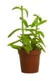 isolerad växt för bakgrund green Arkivfoton