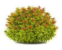 Isolerad växtbuske. Spiraea royaltyfri illustrationer