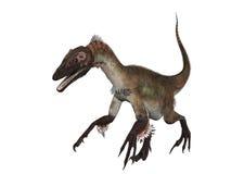 Isolerad Velociraptor arkivbild