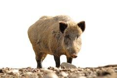 Isolerad vildsvin som ser kameran arkivfoton