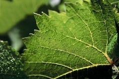 isolerad vinewhite för bakgrund druva Arkivbilder