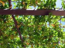 isolerad vinewhite för bakgrund druva Fotografering för Bildbyråer