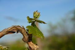 isolerad vinewhite för bakgrund druva Royaltyfria Foton