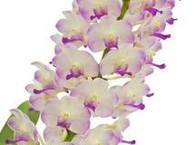 Isolerad Violet Orchid blomma Arkivfoto