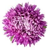 Isolerad violett aster Arkivbild