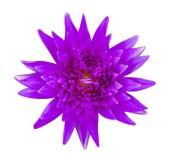 Isolerad violett näckros Royaltyfri Bild