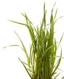 Isolerad vit bakgrund för grönt gräs sedge fotografering för bildbyråer