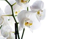 Isolerad vit bakgrund för orkidé blomma Arkivbild