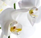 Isolerad vit bakgrund för orkidé blomma Royaltyfri Bild
