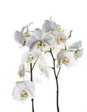 Isolerad vit bakgrund för orkidé blomma Royaltyfri Fotografi