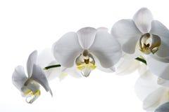 Isolerad vit bakgrund för orkidé blomma Fotografering för Bildbyråer