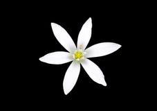 Isolerad vit blomma Arkivbilder