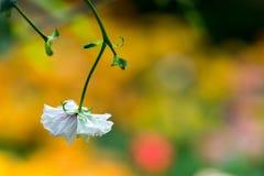 Isolerad vit blomma med en mycket mjuk oskarp gul bakgrund arkivfoto