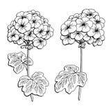 Isolerad vit för svart för pelargonblommadiagrammet skissar illustrationen stock illustrationer