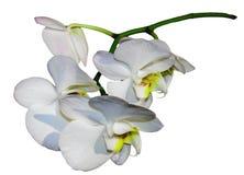 Isolerad vit orkidé Fotografering för Bildbyråer