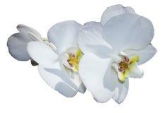 Isolerad vit orkidé Royaltyfri Fotografi