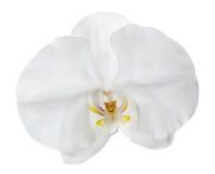 Isolerad vit orkidéblomma Arkivfoton