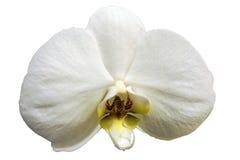 Isolerad vit orkidéblomning Arkivfoto