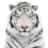 Isolerad vit tiger royaltyfria foton