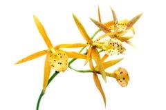 isolerad vit yellow för orchid Fotografering för Bildbyråer
