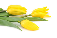 isolerad vit yellow för tulpan Royaltyfri Fotografi