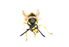 isolerad waspwhite Royaltyfri Fotografi