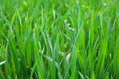 isolerad white för bakgrund gräs Royaltyfri Bild