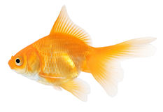 isolerad white för bakgrund guldfisk Royaltyfri Bild