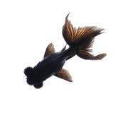 isolerad white för bakgrund guldfisk arkivbilder