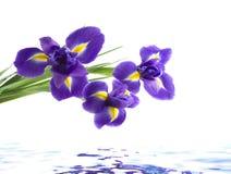 isolerad white för bakgrund iris Arkivfoton
