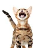 isolerad white för bakgrund katt Arkivfoton