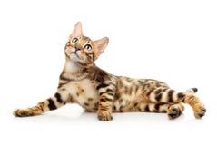 isolerad white för bakgrund katt Royaltyfri Bild