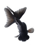 isolerad white för bakgrund svart guldfisk arkivbild